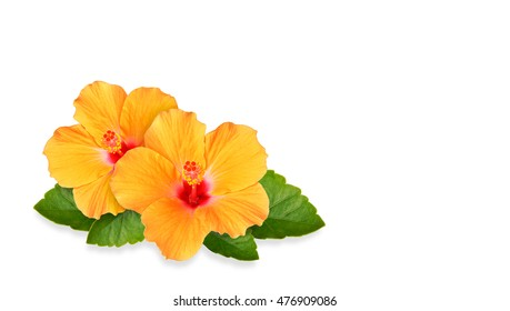 Orange Hibiscus flowers and space for text