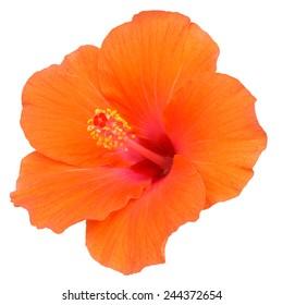 Orange Hibiscus on white background