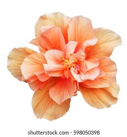 Orange Hibiscus on white background with path