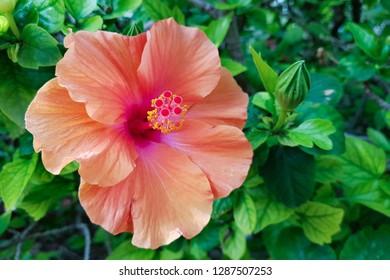 Orange hibiskus, flovers of Israel