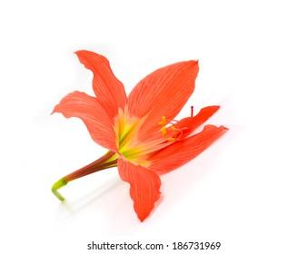 orange Hipperastrum flower  isolated on white background