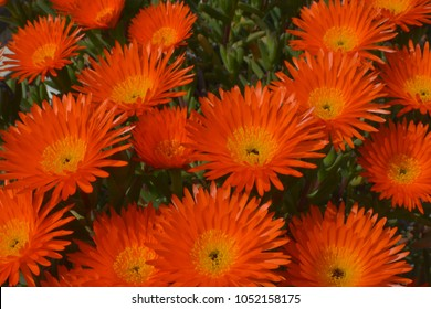 Orange Ice Plant flowers (Pig face,Orange glow, Trailing ice plant).Lampranthus Aurantiacus flowers,Elche,Spain.