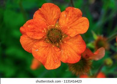 Orange Iceland Poppy Close Up