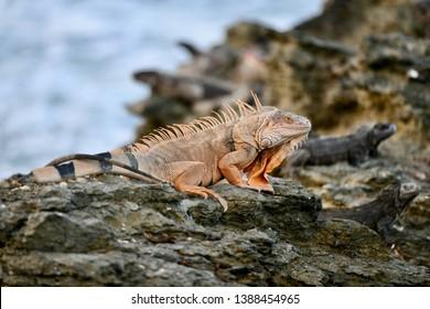 Orange iguana found on St. Croix, United States Virgin Islands