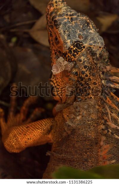 Orange Iguana Rare Mutation Green Iguanas Stock Photo (Edit