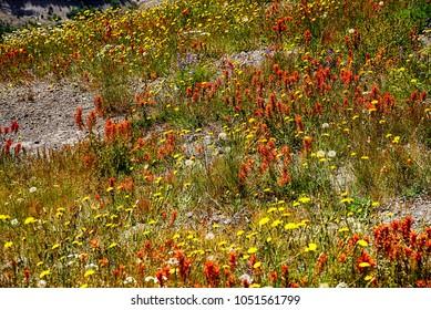 Orange Indian paintbrush cover the meadows of Johnston Ridge, Mt St Helens Volcanic National Monument, Washington