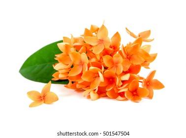 Orange Ixora flowers isolated on white background.Ixora flowers isolated.Ixora flowers with leaf isolated