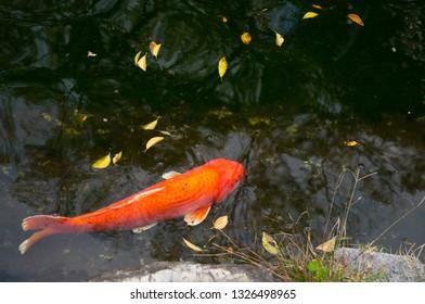 Orange japanese koi carp fish swimming in the pond