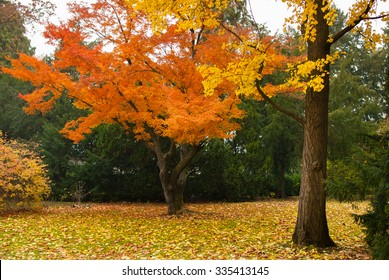Orange Japanese maple and yellow ginkgo biloba trees in the park in the Czech Republic