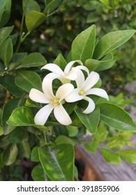 Orange jasmine flower