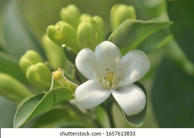 Orange jasmine flower blooming close up shot
