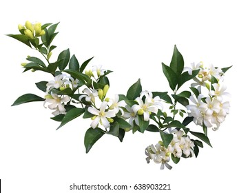 Orange jasmine flower isolated white background
