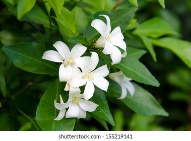 orange Jasmine (Murraya paniculata) in the garden