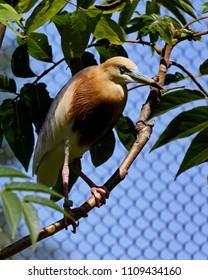 And orange Javan Pond Heron sitting on a branch with some green foliage around him.