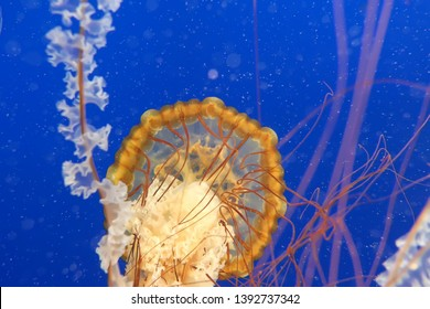 Orange jellyfish in blue ocean water background