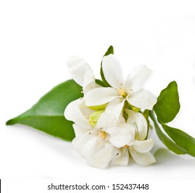 Orange Jessamine Flowers isolated on white