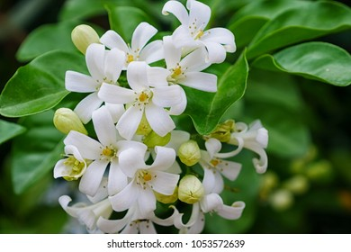 Orange Jessamine flowers (Satin-woodCosmetic Bark Tree) tropical flower.