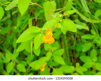 Orange jewelweed (Impatiens capensis) is an annual plant native to North America.