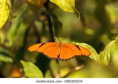 Orange Julia butterfly known as Dryas Julia in a botanical garden in Naples, Florida