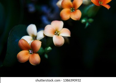 Orange Kalanchoe flowers agaist a dark background. Flaming Katy plant in bloom. Closeup of Christmas kalanchoe, also known as florist kalanchoe or Madagascar widow's-thrill.