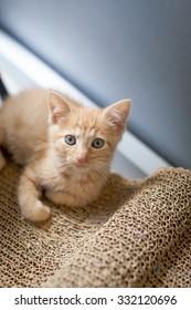 Orange kitten with blue eyes against blue background