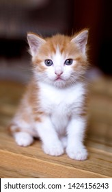 Orange kitten, Ginger kitten, 3 week old kitten, Blue eyes cat