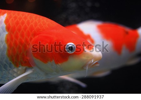 Orange koi fish