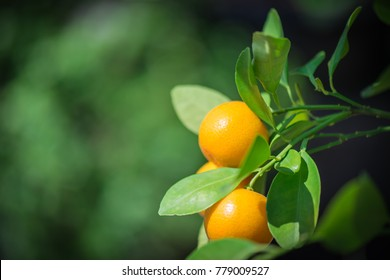 Orange Kumquat on the Tree, Exotic Fruits. Kumquat tree. Together with Peach blossom tree, Kumquat is one of 2 must have trees in Vietnamese Lunar New Year holiday in north.