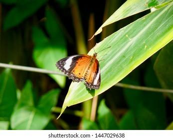 Orange Lacewing butterfly Kuranda North Queensland