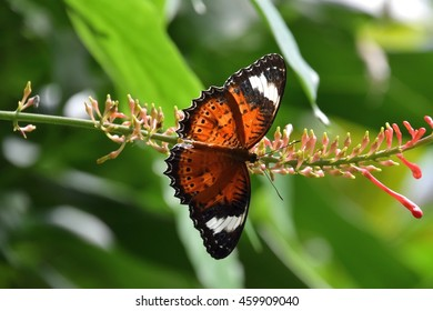Orange Lacewing Butterfly in Northern Queensland.