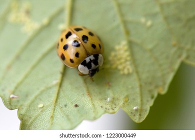 orange ladybug (Coccinellidae) with at keast 16 black spots sits on a green leaf next to (blurred) eggs (macro)