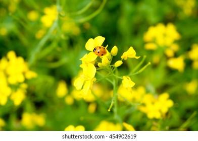 Orange ladybug on yellow rapeseed flower. Coccinellid is also known as ladybug, ladybird, ladybird beetle, lady beetle. Nature in summer. Finland.