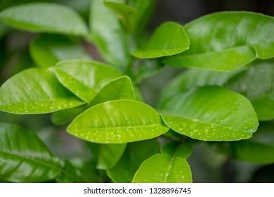 the Orange leaf of Citrus reticulata Blanco