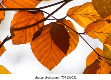 orange leaves of beech tree in autumn
