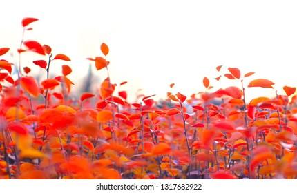 Orange leaves of a bush, cloudy sky, defocused.
