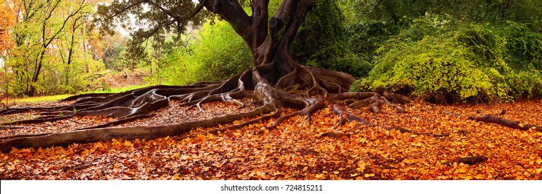 Orange leaves fallen at the base of a Fig Tree in Kings Park, Perth, Western Australia.