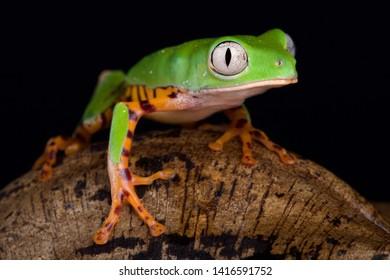 Orange legged leaf frog (Phyllomedusa hypochondrialis)
