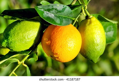 Orange and Lemons.