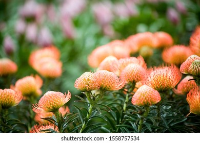 Orange Leucospermum flowers in the foreground with background of other fuzzy purple flowers