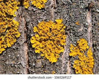 Orange lichen, Xanthoria parietina, growing on tree bark