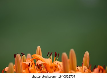 Orange Lilies With Background of Plain Green