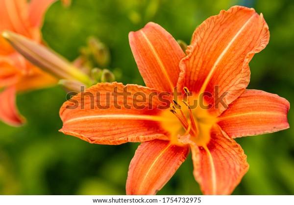 Orange lilies. Flower pretzels with pollen. Mature plants. Flower garden. Backyard garden. Fragrant flowers.