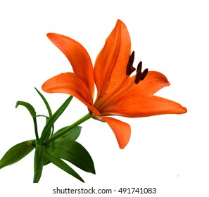 Orange Lilies isolated against white background