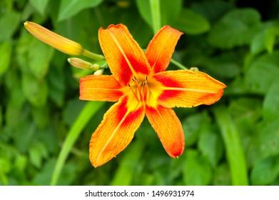 orange lily flower green blossom floral centered