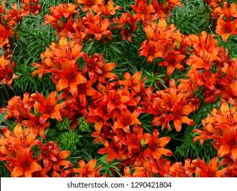 Orange lily flowers & leaves lilium background pattern. Beautiful orange lily (lilium) summer flower garden. Close-up orange madonna lily bush in flower bed. Gentle lilium pattern lilly texture print