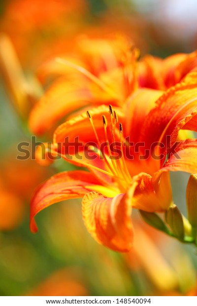 Orange Lily Flowers Lilies Garden Outdoor Stock Photo Edit Now