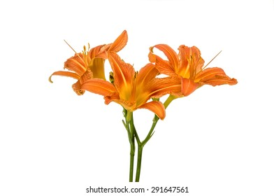 Orange lily flowers, Lilium, drop and two snails, isolated on white