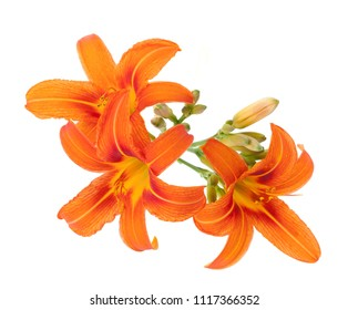 Orange Lily Lilium bulbiferum isolated on white background