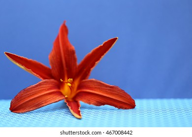 Orange lily on a blue background 2