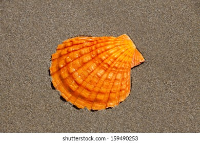 Orange Lion's Paw Scallop Shell is lying flat in the sand on the beach with Copy Space around the Seashell